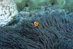 Un pescado de anémona Foto de archivo