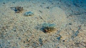 Un pescado de jalea del uso del cangrejo para protegerse Vida submarina imagen de archivo