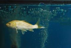 Un pescado de la carpa del koi nada en el acuario de cristal Foto de archivo libre de regalías