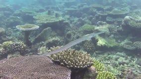 Un pescado de la trompeta almacen de metraje de vídeo