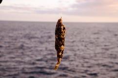 Un pescado de mar enganchado imagen de archivo libre de regalías