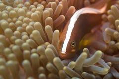 Un pescado del payaso que oculta en una anémona con un camarón Fotografía de archivo
