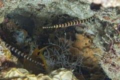 Un pescado del tubo de la familia del caballo de mar Imagenes de archivo