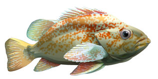 Un pescado grande Fotos de archivo libres de regalías
