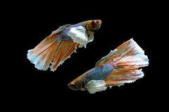 Un pescado hermoso del betta Foto de archivo