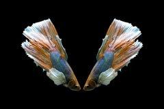 Un pescado hermoso del betta Foto de archivo libre de regalías