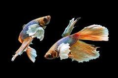 Un pescado hermoso del betta Fotos de archivo