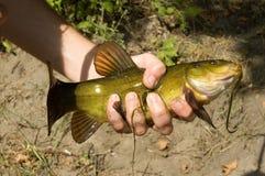 Un pescado inusual de tamaño pequeño se afianza con abrazadera en una mano del ` s del hombre fotos de archivo libres de regalías