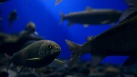 Un pescado vivo grande se coloca en el agua y abre su boca metrajes