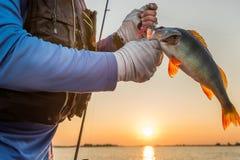 Un pescador con un pescado grande se encarama y un cebo del silicón en sus manos en el río en el amanecer foto de archivo