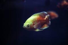 Un pesce curioso nell'acquario. Immagini Stock