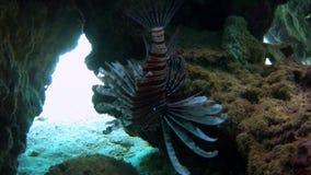 Un pesce del tacchino della zebra che si nasconde sotto le rocce video d archivio