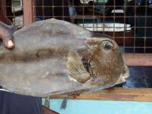 Un pesce della scatola nei Caraibi. Immagine Stock