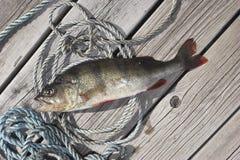 Un pesce morto immagine stock libera da diritti