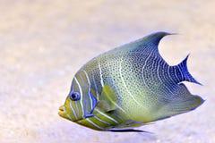 Un pesce tropicale luminoso Fotografia Stock Libera da Diritti