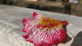 Un petalo caduto su una parete Fotografia Stock