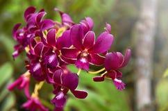 Un petalo porpora piacevole dell'orchidea Fotografia Stock