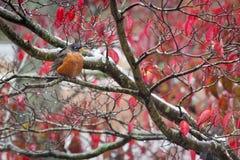 Un petirrojo americano en otoño Fotografía de archivo libre de regalías