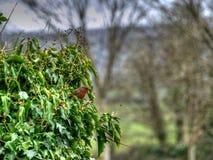 Un petirrojo en un árbol en Irlanda Imágenes de archivo libres de regalías