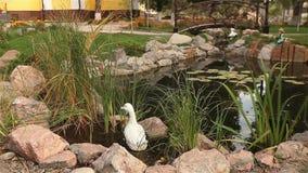 Un petit étang en parc, étang décoratif, pont ornemental au-dessus d'un étang, nénuphars dans l'eau, sur le fond banque de vidéos