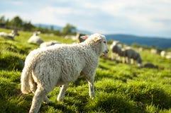 Un petit agneau Photos libres de droits