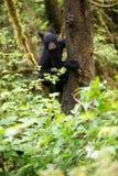 Un petit animal d'ours noir dans un arbre Images libres de droits