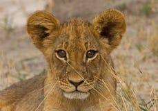 Un petit animal de lion adolescent d'isolement regardant droit devant Photographie stock