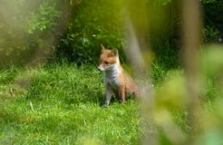 Un petit animal de renard traînant dans un jardin en Angleterre Photographie stock