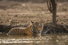 Un petit animal de tigre masculin éteignant sa soif en été chaud au parc national de Ranthambore photo stock