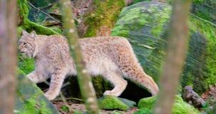 Un petit animal européen de lynx marche dans les bois banque de vidéos