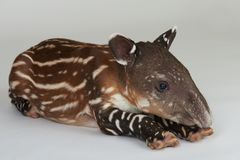 Un petit animal repéré de tapir photo libre de droits