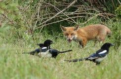 Un petit animal sauvage mignon de Fox rouge, vulpes de Vulpes, se tenant ? l'entr?e au repaire observant les pies, qui chassent p photos stock