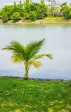 Un petit arbre de noix de coco. Photographie stock libre de droits
