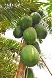 Un petit arbre sur la grande grosse papaye photo stock