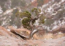 Un petit arbre tordu de genévrier avec un saupoudrage de neige là-dessus tronc du ` s Photo libre de droits