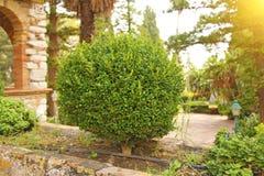 Un petit arbre vert sous la forme de forme en parc, un arbre de bonsaïs Jardin botanique de Taormina L'île de la Sicile, Italie photo stock