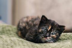 Un petit beau chat noir avec les taches blanches et rouges et les yeux bleus se trouvant sur une couverture verte images libres de droits