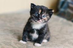 Un petit beau chat noir avec les taches et les yeux bleus blancs et rouges se repose sur le sofa photographie stock