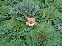 Un petit Brown Teddy Bear sur un groupe de chou ornemental vert Image libre de droits