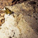 un petit buttelfy repose ses ailes image libre de droits