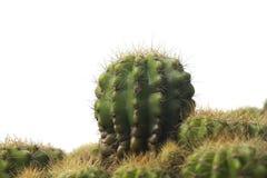 Un petit cactus Photos stock