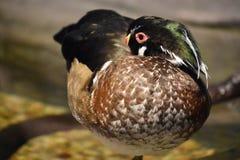 Un petit canard photographie stock libre de droits
