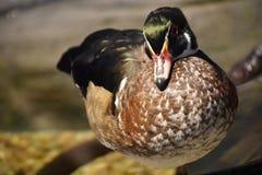 Un petit canard image libre de droits