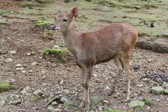 Un petit cerf commun brun avec la fourrure lisse regardant fixement faiblement quelque chose Photo stock