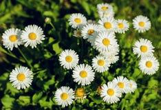 Un petit champ des marguerites Image stock