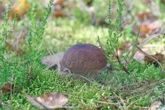 Un petit champignon blanc se développe sur une mousse Images stock