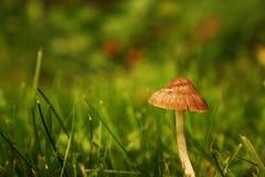 Un petit champignon dans un terrain d'herbe image libre de droits