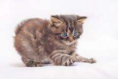 Un petit chaton avec des yeux bleus joue et se prépare à un saut photos stock