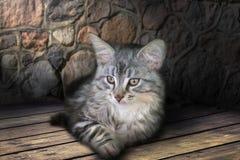 Un petit chaton gris de la race de Maine Coon image stock
