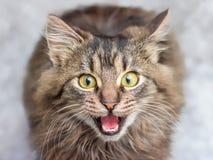 Un petit chaton rayé regarde le propriétaire attentivement, miaule et a image stock